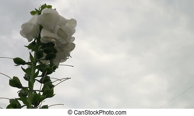 White flower - a hand bell against the sky.