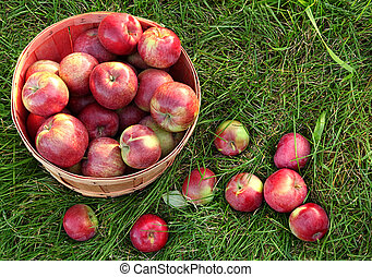 Overhead shot of a basket of freshly picked apples
