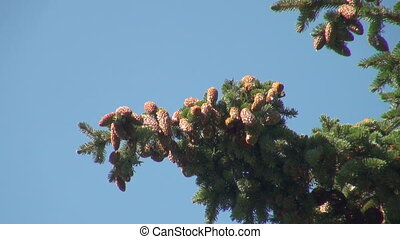 a lump on the branch of a pine
