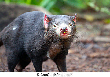 Tasmanian Devil - Sarcophilus harrisii - Shallow Depth of...
