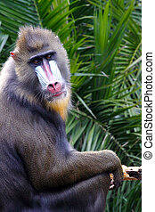 Mandrill making Eye Contact - mandrillus sphinx