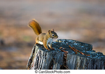 Alert Red Squirrel on Tree Stump - Alert Red Squirrel on Old...