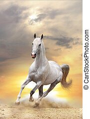 白色, 馬, 傍晚