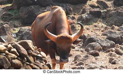 Bull in the Park