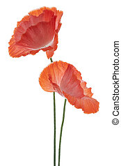 poppy - Studio Shot of Orange Colored Dahlia Isolated on...