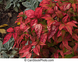 Nandina - Red nandina plant leaves in autumn