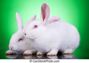two cute white rabbits