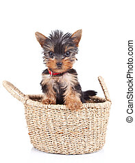 happy yorkie toy standing in a little basket over white