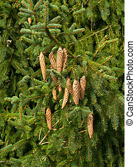 Christmas Tree Cones maturing with sap drips