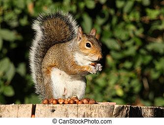 Grey Squirrel - Portrait of a Grey Squirrel eating Hazelnuts...