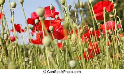 Poppy - Poppies moving in the wind against blue sky. Tripod....