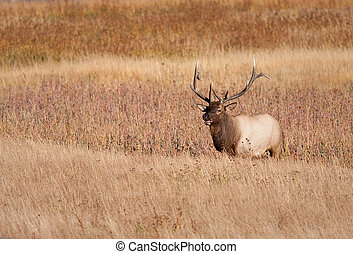 Bull Elk - Bull elk during fall in Yellowstone nationnal...