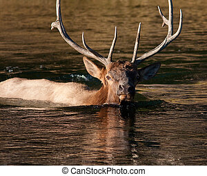 Bull elk swimming - bull elk crossing a river during fall in...