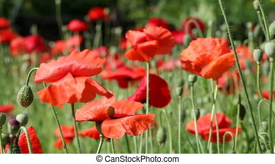Red poppy - Poppies moving in the wind. HD 1080p. Tripod....
