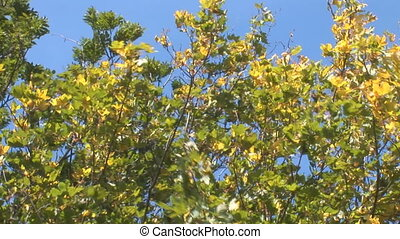 autumn 10 - yellowing tree in the wind