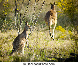 Kangaroo - Australian Kangaroo's at sunset in the wild