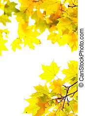 Autumn maple leafs on a white background The decorative...