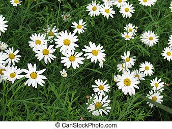 Daisy flowers in a garden