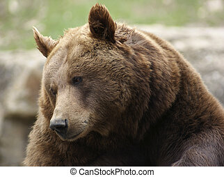 portrait of a Brown Bear looking down