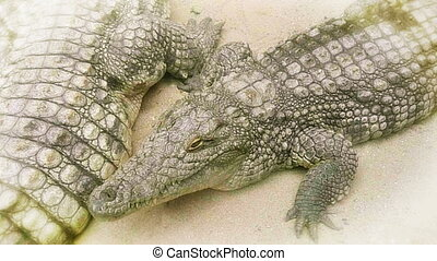 Crocodiles close up