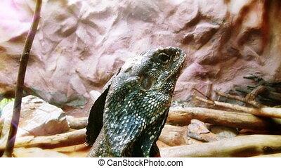 Dragon lizard close up
