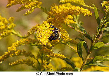 Bumblebee Working Pollen on Goldenrod - A bumblebee working...