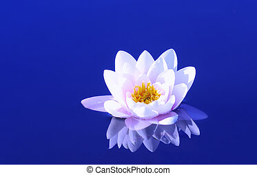 waterlily - a waterlily on a blue pond
