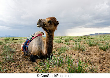 Camel on the steppes of Mongolia - So camels waiting for...