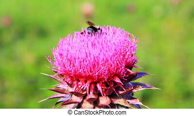 Closeup macro of bumblebee pollinating thistle flower