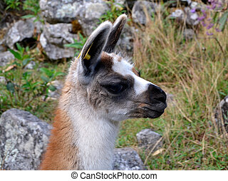 Cute Head of Baby Lama with nature background