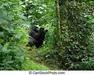Gorilla in Uganda - a Mountain Gorilla in the cloud forest...
