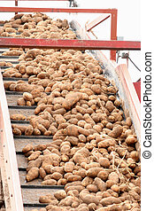 Potato Conveyor Belt - Conveyor belt full of harvested...