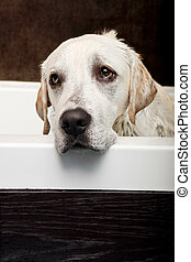 Wet Dog - Beautiful labrador retriever with a sad look and...