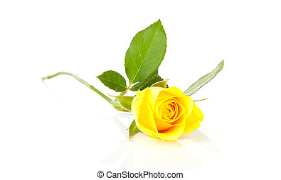 Beautiful yellow rose - One beautiful yellow rose over white...