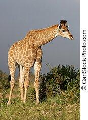 joven, jirafa