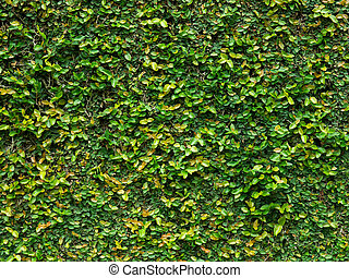 Green creeper leaves - Green creeper plant covering the wall...