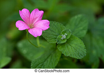 Endres cranesbill with leaves lat Geranium endressii
