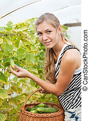 girl is picking cucumber in the greenhouse