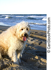 White Dog by Ocean - White fluffy dog in forefront of beach...