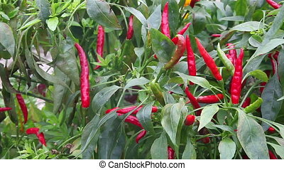 Thai hot chili plant - Aslo known as bird's eye chili, with...