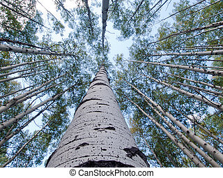 Aspen Trunks in Fall - In the san juan range of the Colorado...