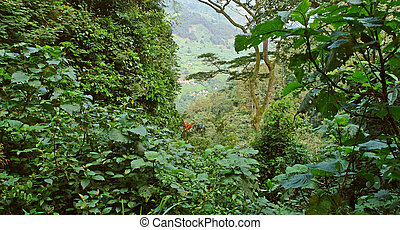 rain forest vegetation in the Bwindi Impenetrable National...