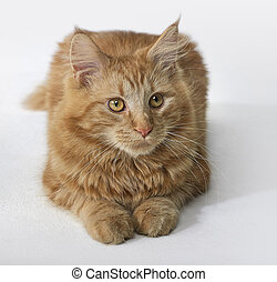 Maine Coon kitten portrait - sitting red Maine Coon Cat in...