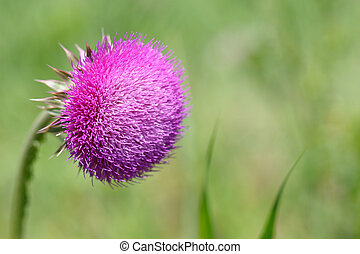 Thistle flower on green background