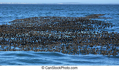 MANY CORMARANTS - A large flock of Cape cormarants sitting...