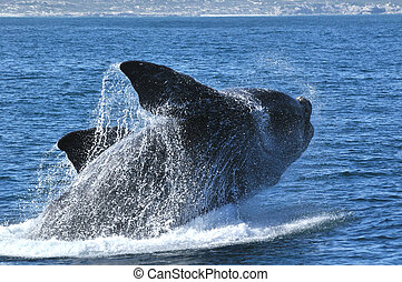 S R BREACHING - A southern right whale breaching near...