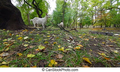 Goats at autumn park - Goats graze at autumn park Wide...