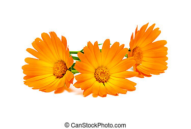 calendula flowers isolated on the white background - three...