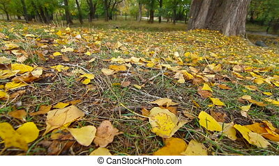 DOLLY: fallen yellow leaves - fallen yellow leaves at autumn...