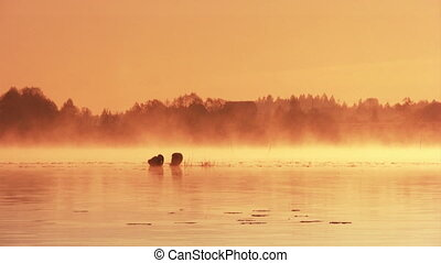 Dawn on the lake - Pair of swans floating on the morning...